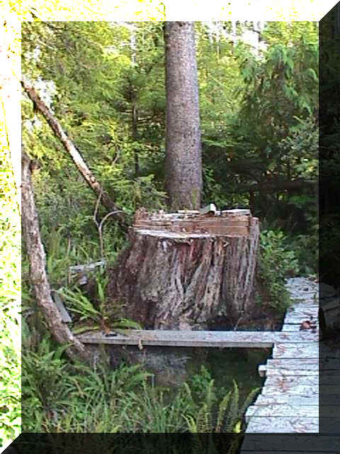 stump.jpg (110868 bytes)